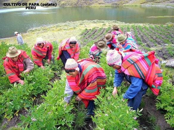 Cultivo de papa (Cortesía: Exportacionesdelperu.blogspot.com)