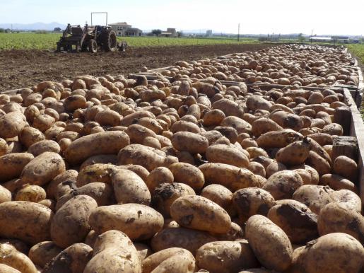 Cultivo patata (Cortesía: ultimahora.es)