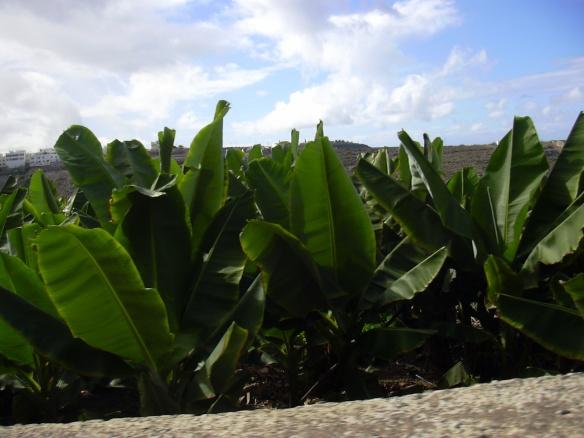 Plataneras en las Palmas