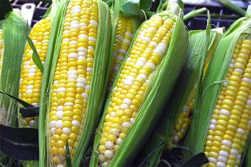 Variedad maíz (Cortesía: paraguay.com)