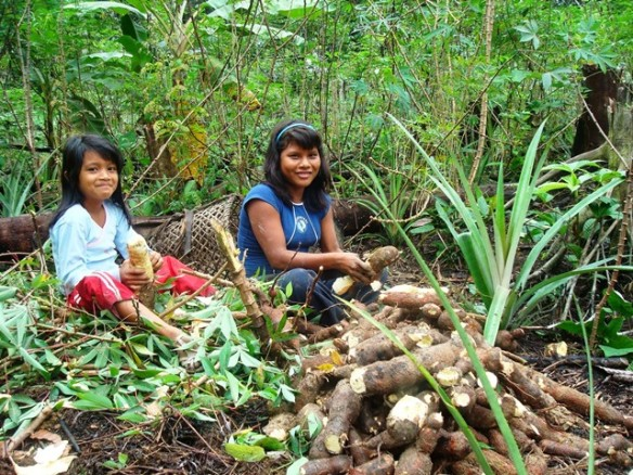 yuca-cultivo